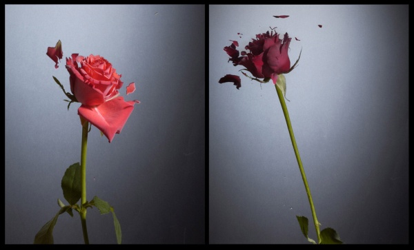 flores nitrogenio liquido rosas flick kasi metcalfe